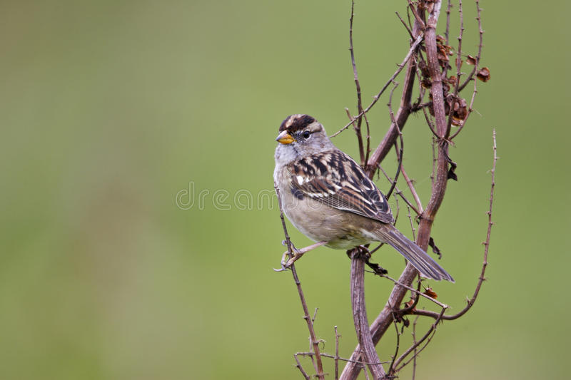 Gambel S White-crowned Sparrow Royalty Free Stock Images