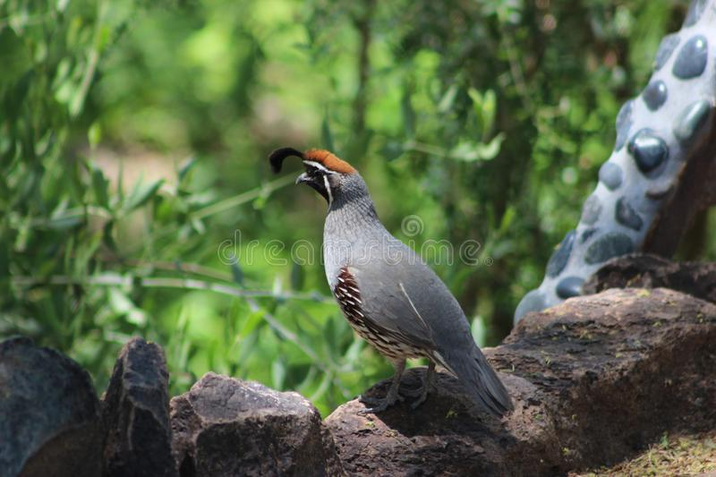 Gambels Quail in the Desert Botanical Gardens, Phoenix, Arizona royalty free stock photography