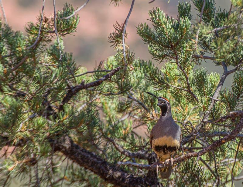 Gambels Wachteln, Callipepla-gambelii, im Baum in Sedona, Arizona stockfotos
