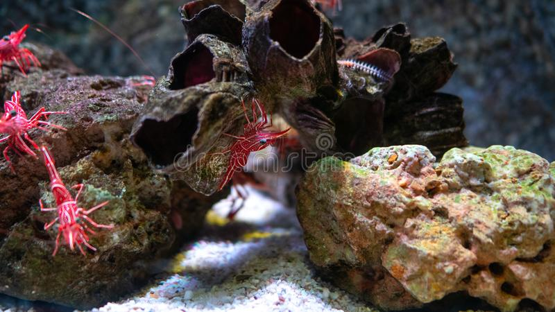 Gamberetto del becco della cerniera in serbatoio di acqua, ? bello piccolo gamberetto in carro armato di pesce immagine stock libera da diritti