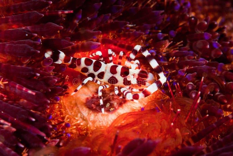Gamberetto di Coleman, riccio di mare del fuoco a Ambon, Maluku, foto subacquea dell'Indonesia fotografia stock libera da diritti