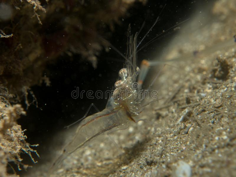 Gamberetto trasparente sulla sabbia immagini stock