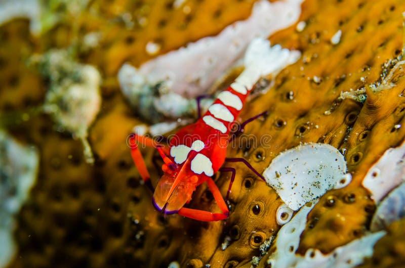 Gamberetto variopinto dell'Indonesia del lembeh di immersione con bombole immagine stock