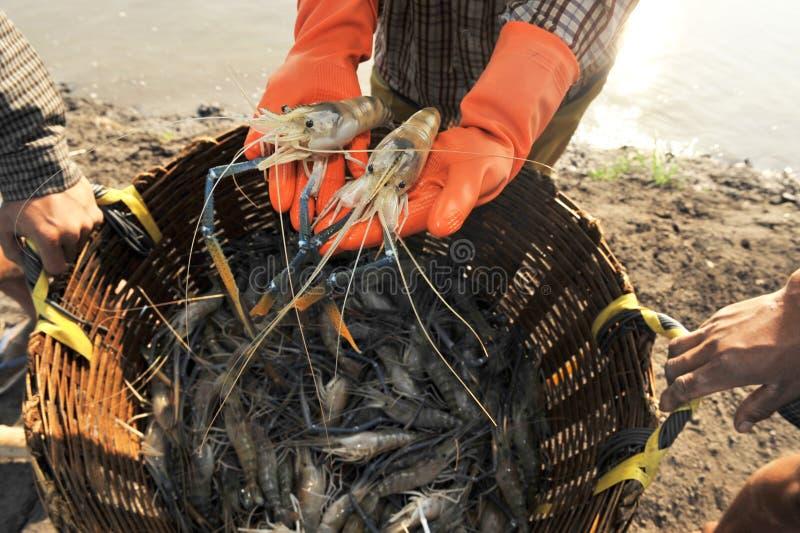 Gambero blu (macrobrachium rosenbergii) fotografia stock libera da diritti