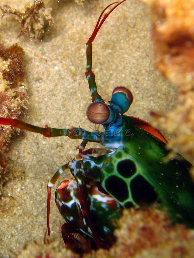 Gambero di Mantis fotografie stock