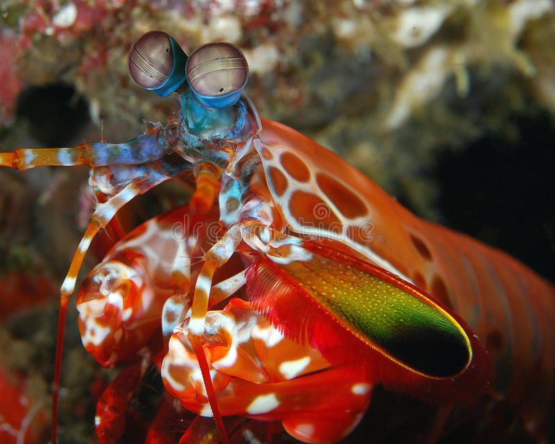 Gambero di Mantis maschio del pavone fotografie stock libere da diritti
