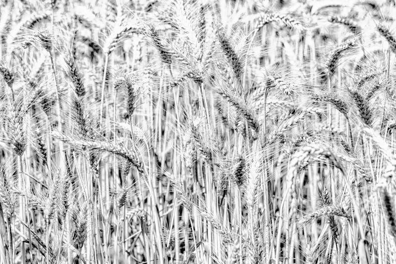 Gambi in bianco e nero del grano fotografie stock libere da diritti