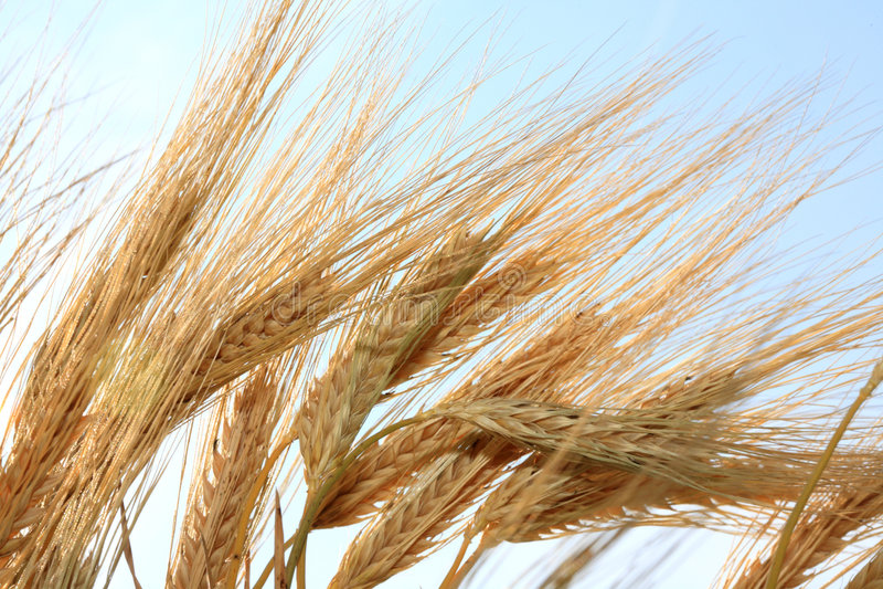 Gambi del frumento. fotografia stock
