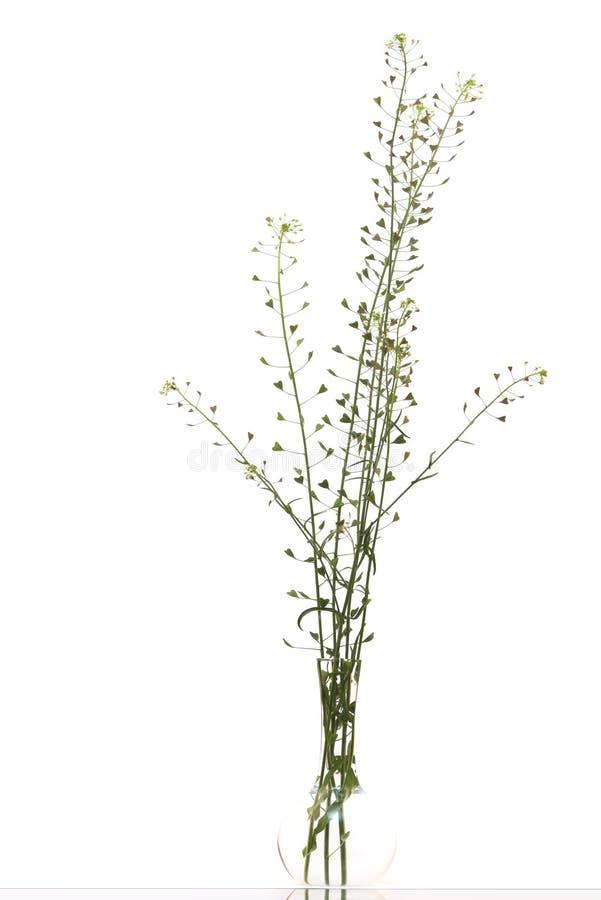 Gambi di erba in un vaso immagini stock libere da diritti