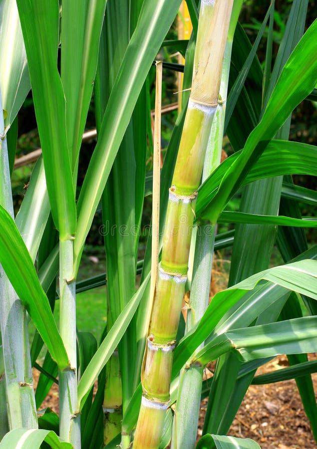 Gambi e fogli della canna da zucchero. immagini stock libere da diritti