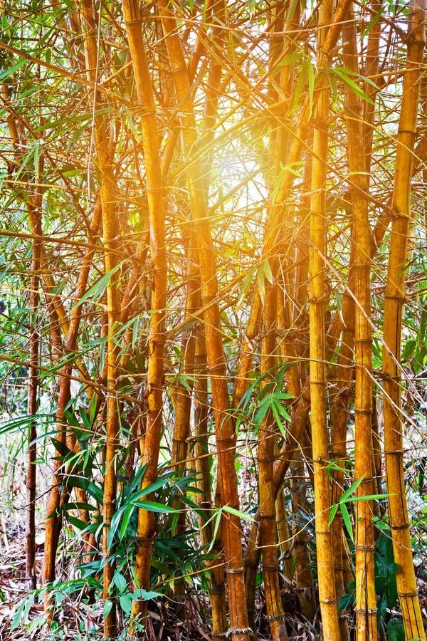 Gambi e foglie tropicali del fondo del tronco del sole della foresta di bambù verde di Bambu fotografia stock libera da diritti
