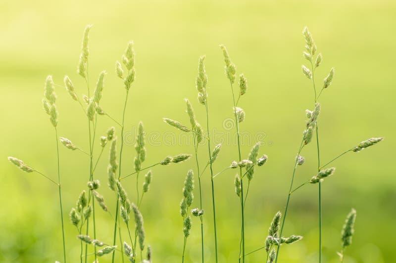 Gambi lunghi di erba selvatica naturale retroilluminata da luce solare calda nebbiosa di mattina nel campo fotografie stock