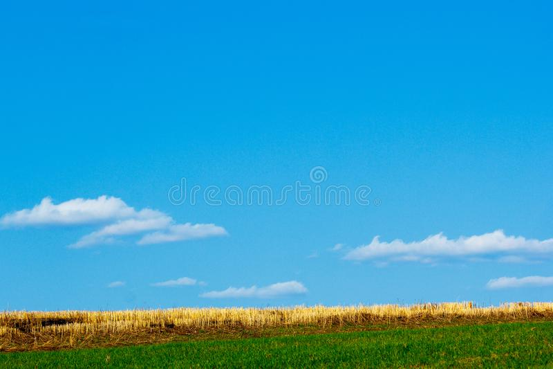 Gambi smussati di grano fotografia stock