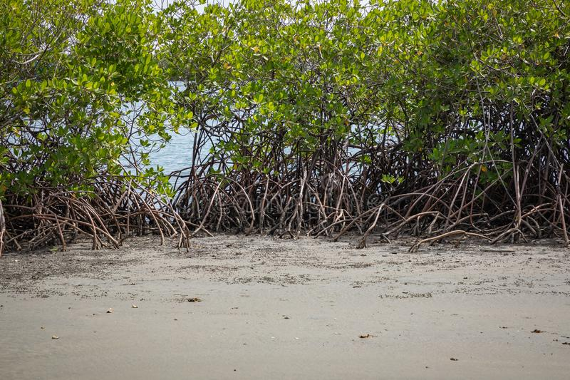 Gambia Mangroves. Green mangrove trees in forest. Gambia.  stock photos