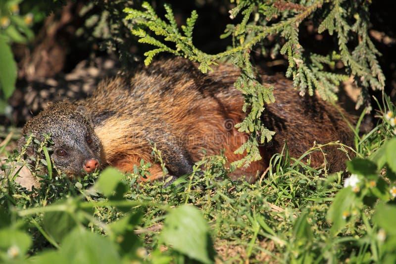 Download Gambian mongoose stock photo. Image of animal, gambianus - 28664328