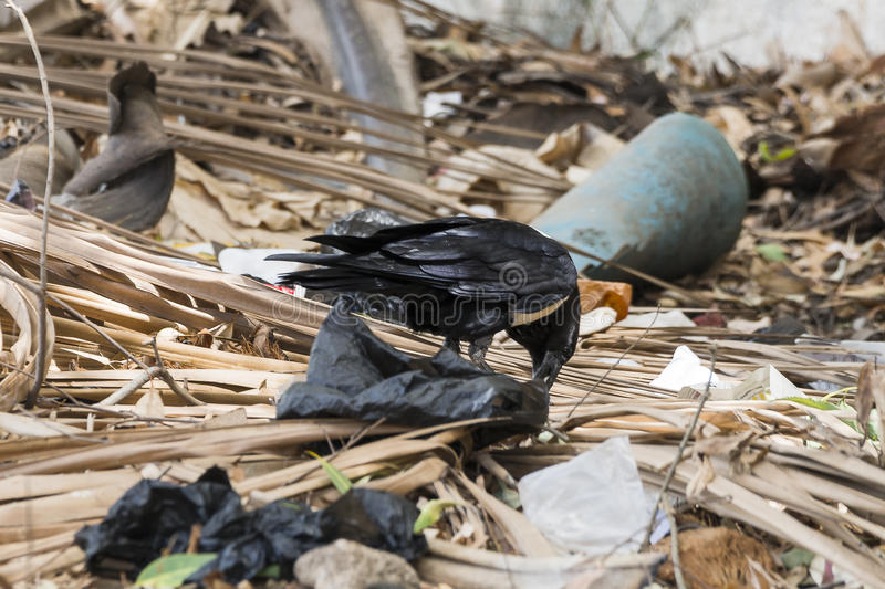 Gambian Pied Crow royalty free stock image