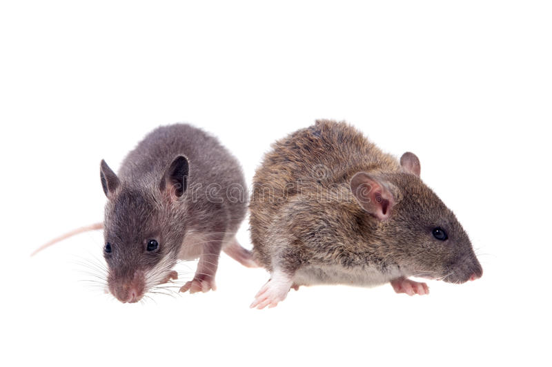 Gambian pouched and common rats, 2 month old, on white. Gambian pouched and common rats, Cricetomys gambianus and rattus norvegicus, isolated on white background stock photo