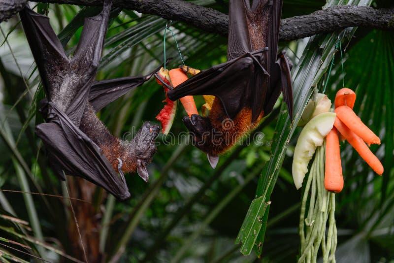 GAMBIJSKI EPAULETTED OWOCOWY nietoperz ZBLIŻA SIĘ owoc (EPOMOPHORUS GAMBIANUS) ` obrazy stock