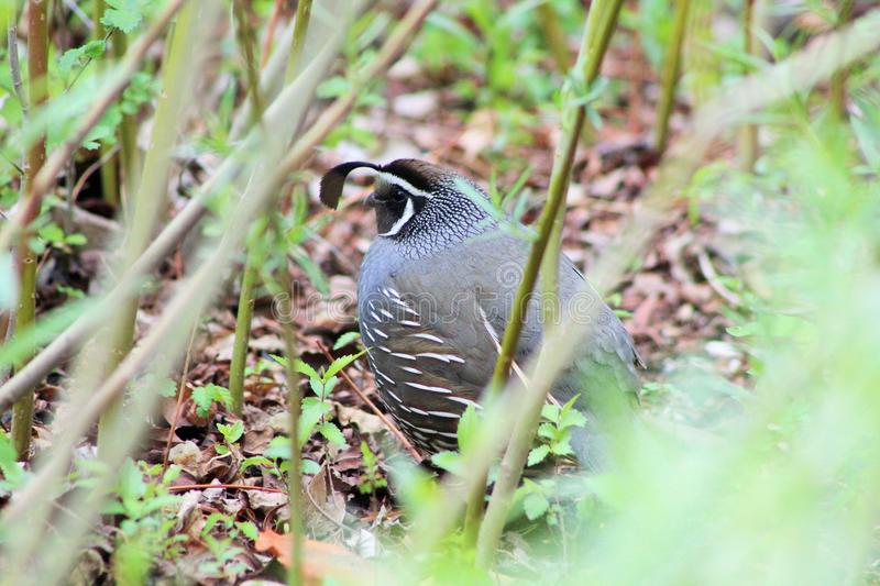 Gamble quail stock photo