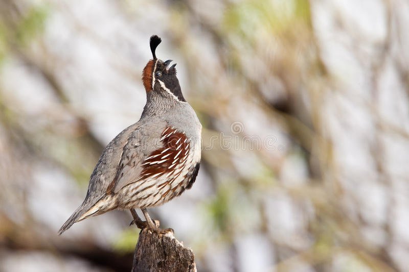 Gamble's Quail royalty free stock images