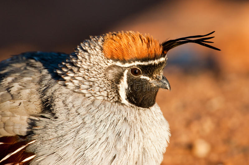 Gamble's Quail royalty free stock photo