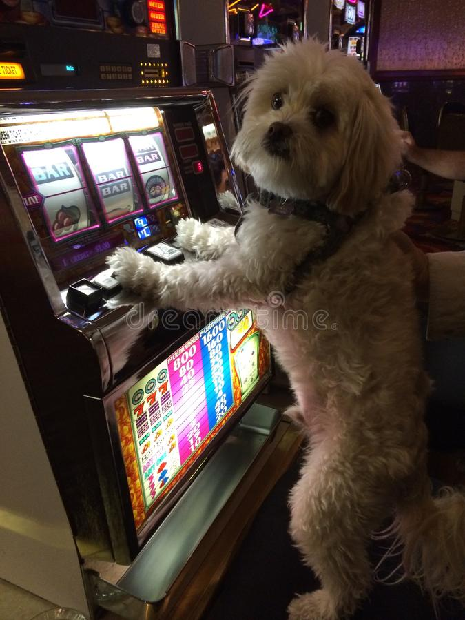 Gambling puppy royalty free stock photography