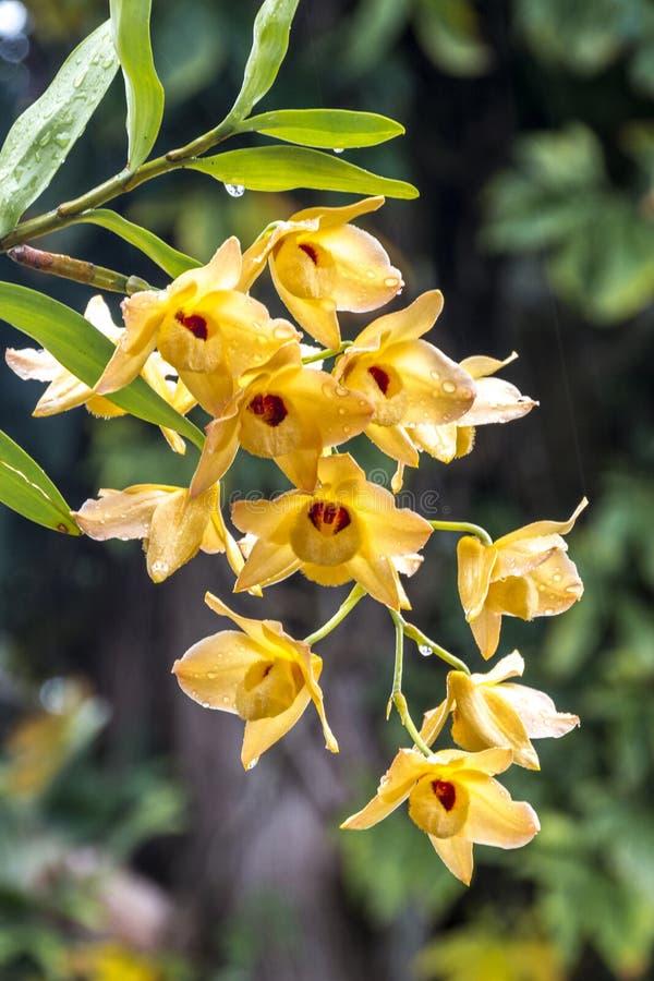 Gambo dei fiori gialli dell'orchidea del Dendrobium coperti in gocce di pioggia immagine stock