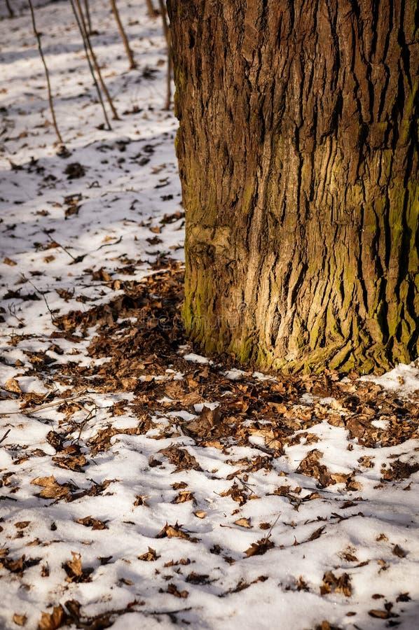 Gambo dell'albero fotografie stock libere da diritti