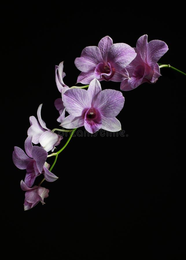 Gambo dell'orchidea fotografie stock
