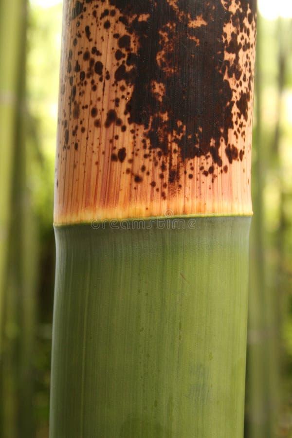 Gambo di bambù fotografie stock