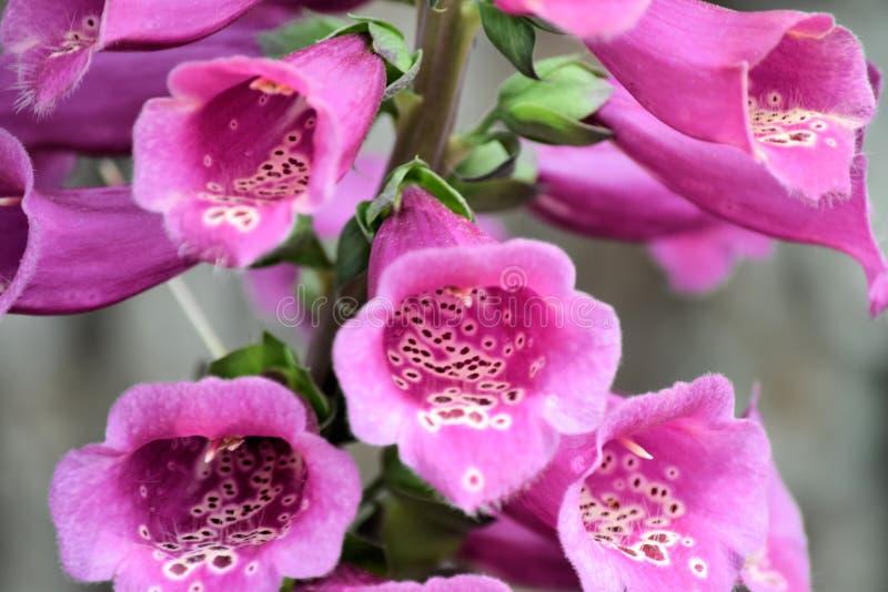 Gambo o digitale di fiore della digitale fotografia stock libera da diritti
