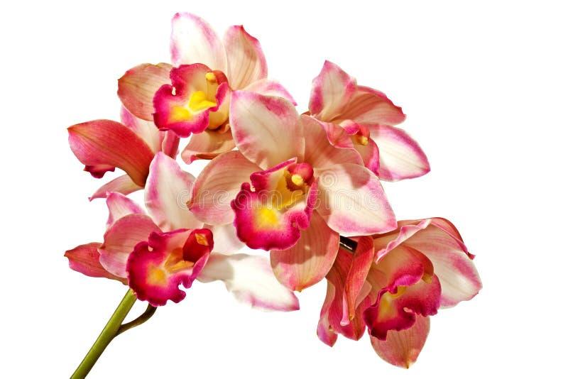 Gambo verde delle orchidee rosa del Cymbidium su fondo bianco fotografie stock