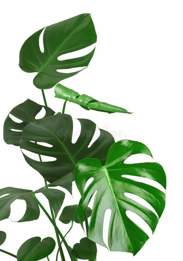 Gambo verde e foglie della pianta tropicale isolati su fondo bianco immagine stock libera da diritti