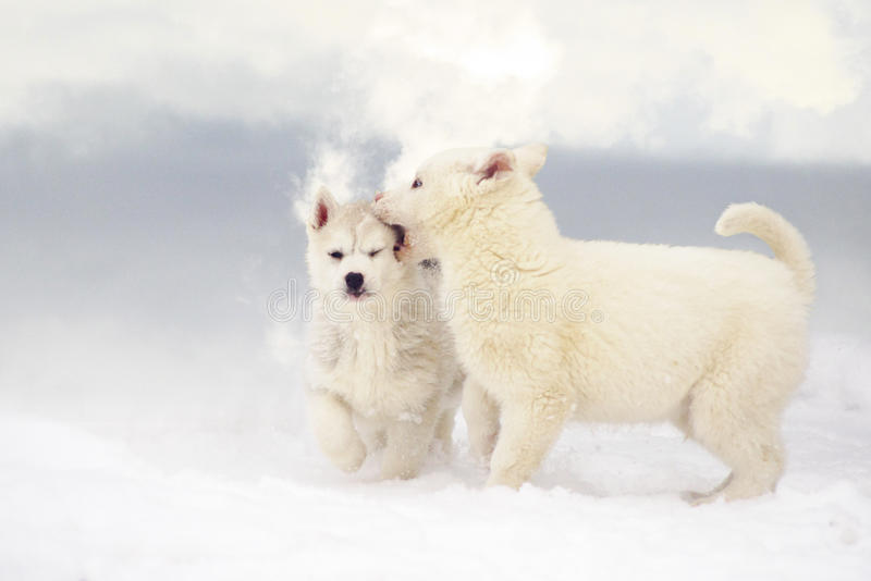Download Game stock photo. Image of husky, fluffy, white, puppies - 26623618