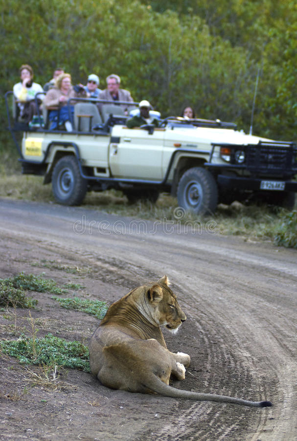 Game Drive. Group of tourists watch a lioness from the safety of a vehicle in the Mashuta Game Reserve, Botswana stock photography