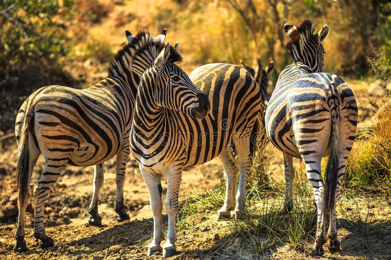 Three african zebras stock photography