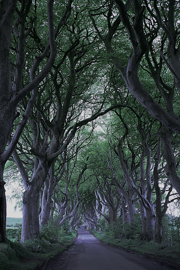 Game of Thrones Dark Hedges N.Ireland. The Dark Hedges at the North Coast Northern Ireland. These appear in Game of Thrones stock image