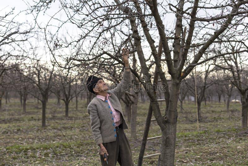 Gamla bondebrämträd i hans fruktträdgård royaltyfria bilder