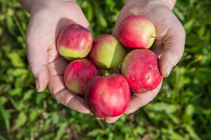 Gamla bondehänder med den nytt skördade äpplecloseupen Organiska frukt och grönsaker arkivbilder