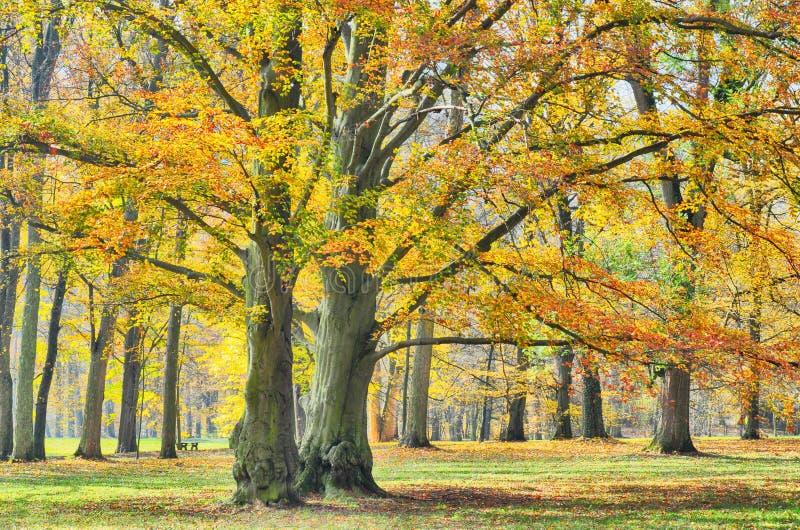 Gamla breda bokträdträd för blad i parkerar antagligen på hösteftermiddagdagsljus arkivfoto