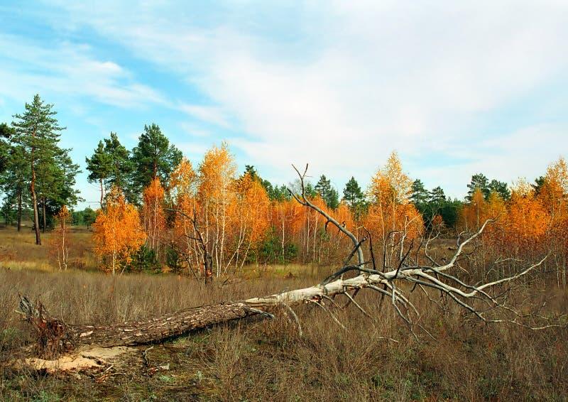 Gamla döda sörjer trädet i höstmedow arkivfoto