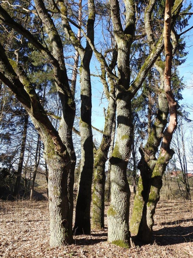 Gamla ekar i våren, Litauen royaltyfri bild