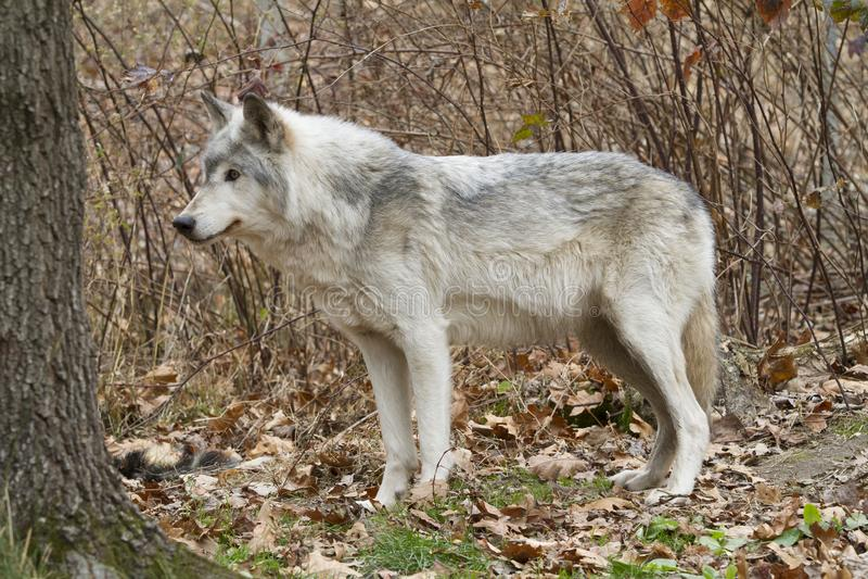 Gamla Grey Wolf Regal Profile arkivfoton