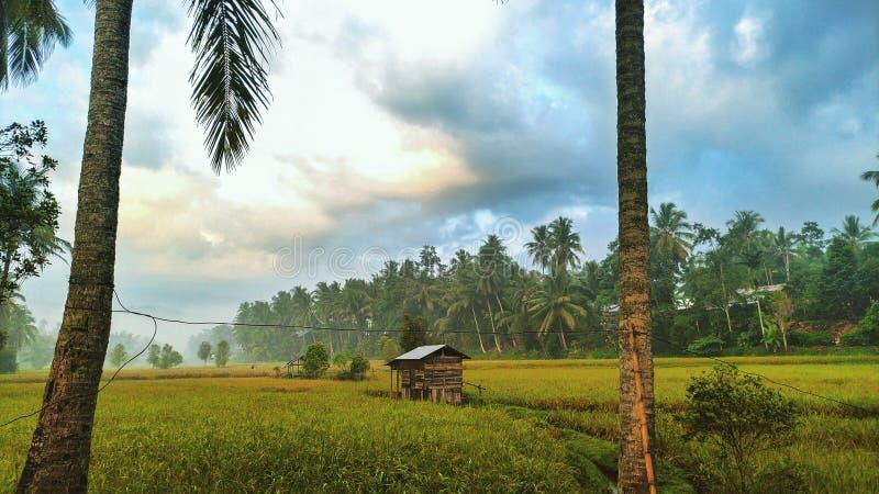 Gamla kojor och gula risfält arkivbild