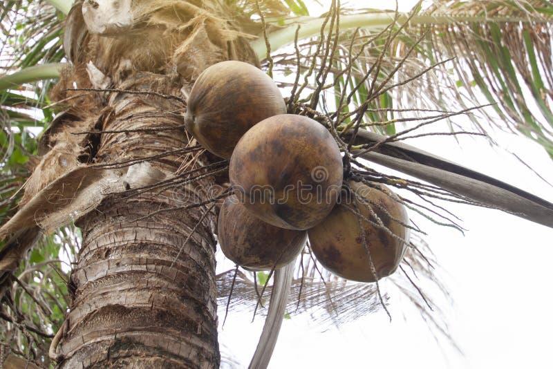 Gamla kokosnötfrukter för Closeup på träd på naturbakgrund royaltyfria bilder