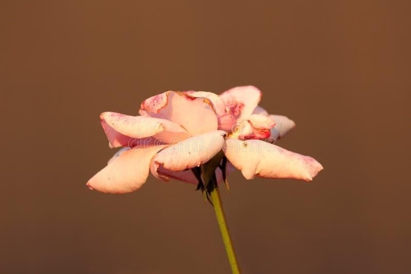 Gamla ljusa rosa färger steg med kronblad som startar att vissna och falla ner växa på den enkla gröna stammen och brun husväggba arkivfoton