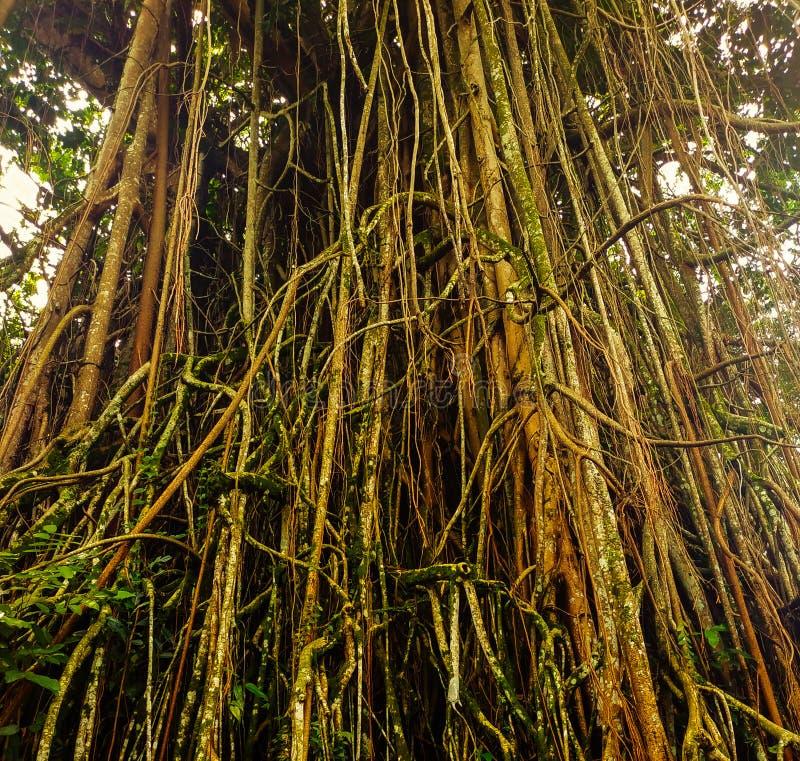 Gamla naturliga träd på Kebun Raya Bogor, indonesia arkivbild