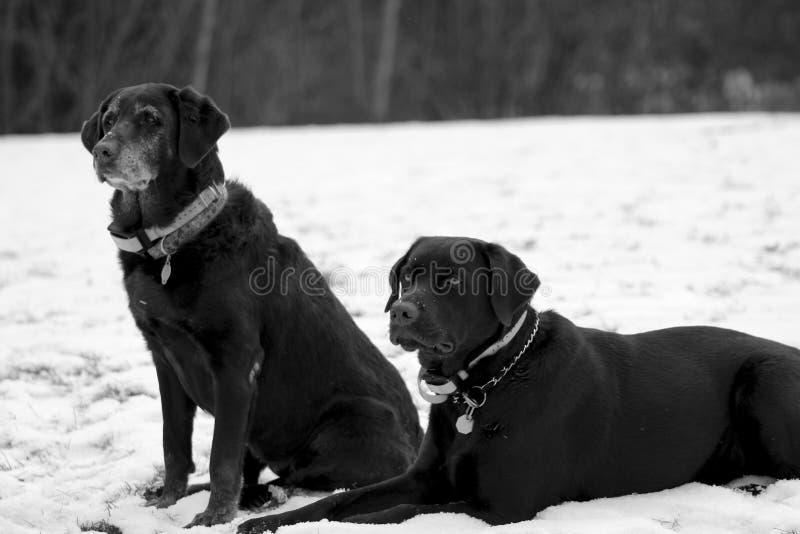 Gamla och unga labrador Sit Together i snön fotografering för bildbyråer