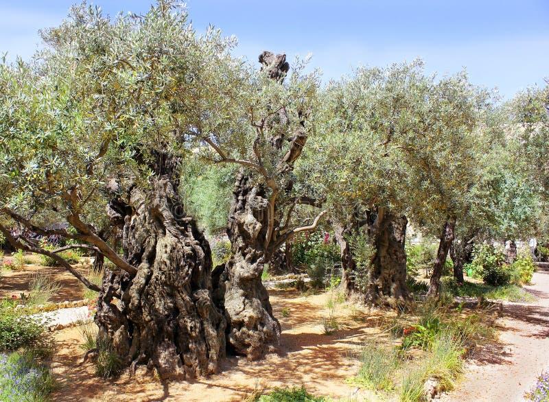 Gamla olivträd i trädgård av Gethsemane, Jerusalem royaltyfria foton