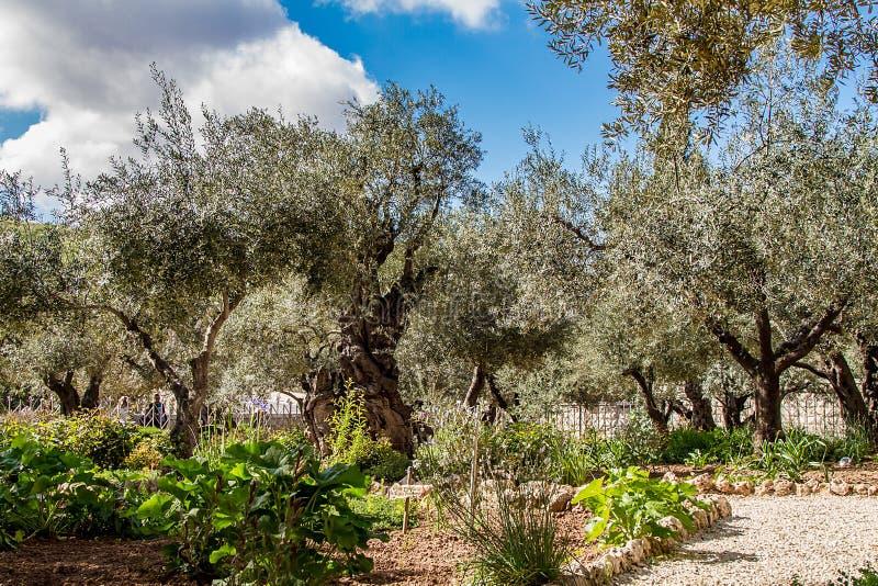 Gamla olivträd i trädgården av Gethsemane royaltyfri fotografi